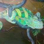 Samec chameleon Jemenský
